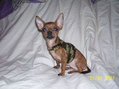 Free Crochet Pattern Chihuahua Sweater : Free Crochet Chihuahua Army Dog Sweater Pattern. / crochet ...
