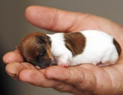 Image of Smallest Dog in the World as a Baby