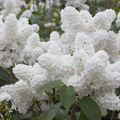 Angel White Lilac