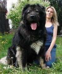 largest dog breeds