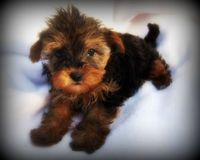 A yorkie pup