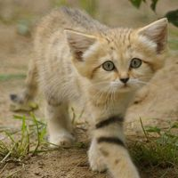 The Sand Cat is now extinct in the wild, so this new born Sand Cat kitten gives hope for the future of this cat, and to the efforts of the reintroduction efforts made to make this cat wild once more.
