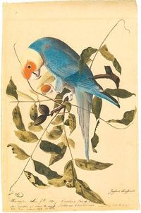 John James Audubon, Carolina parakeet, 1811