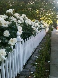 white picket fence with roses.