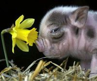 piglet and daffodil